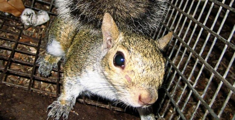 How Do Squirrels Get Into Your Attic? (Get Them Out)