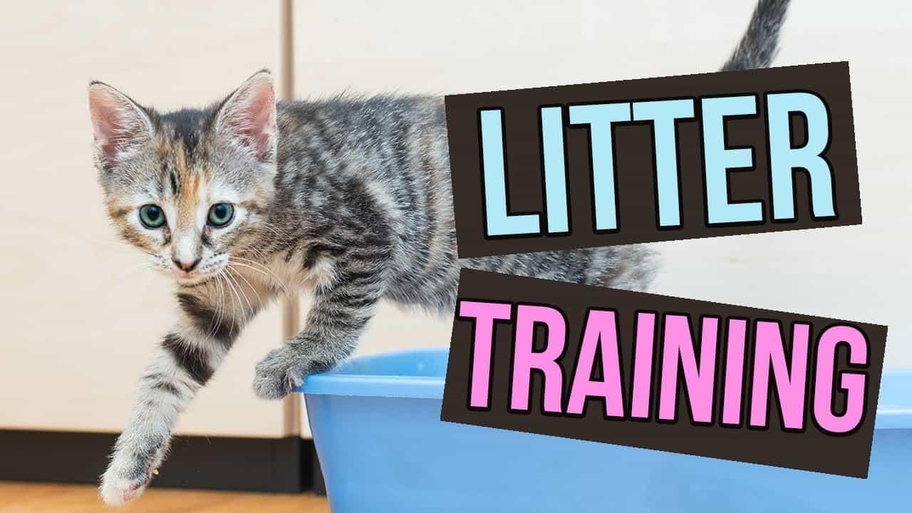 litter train kitten