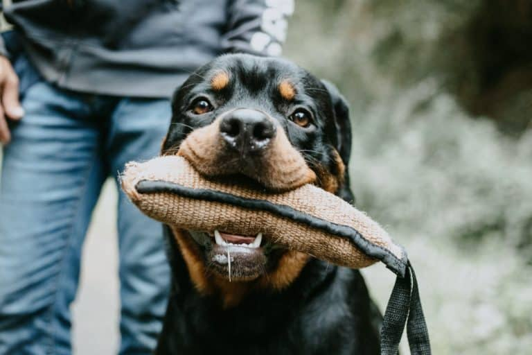 Rottweiler Bite Force: Is it The Strongest?