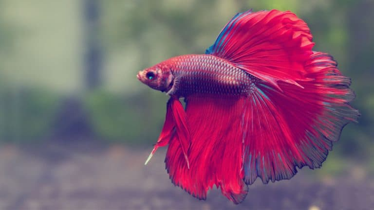Do Betta Fish Get Lonely? (10 Facts You Should Know)