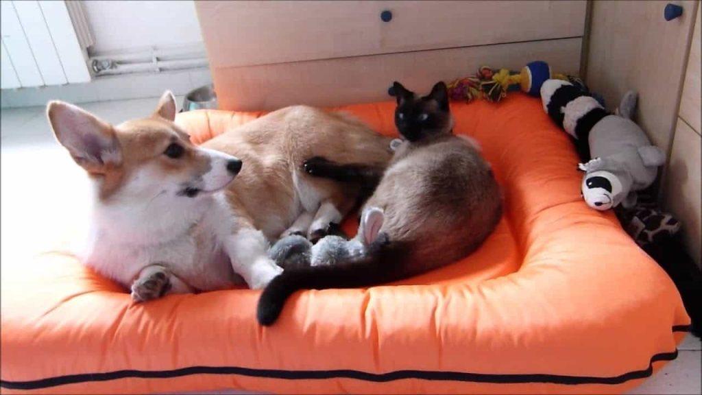 corgis and cats