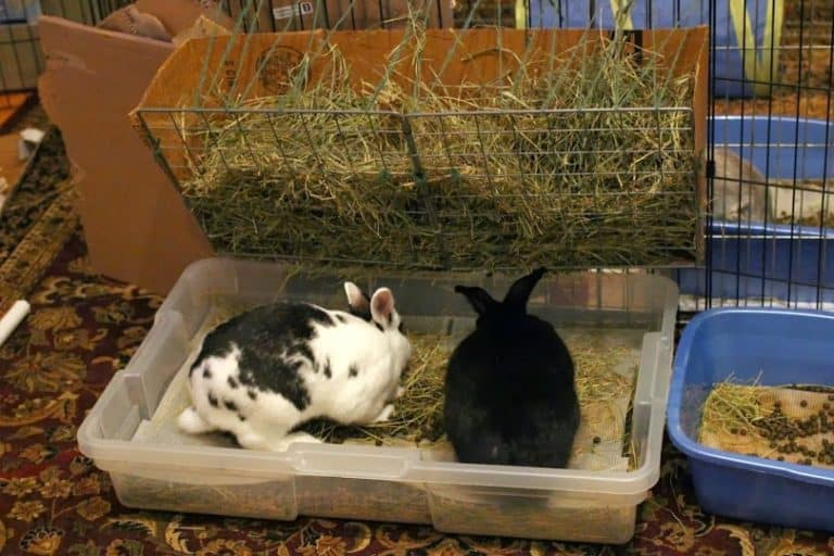 Can Bunnies Use Cat Litter? (Is It Safe for Your Bunny)?