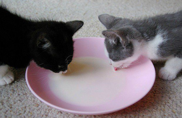 Can Cats Drink Soy Milk (Is Soy Milk Good for Cats)?