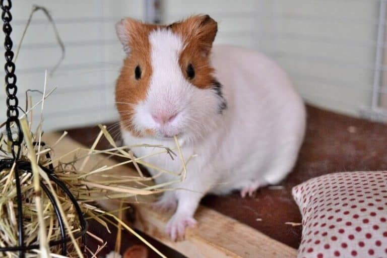 Can You Use Kitty Litter for Guinea Pigs?