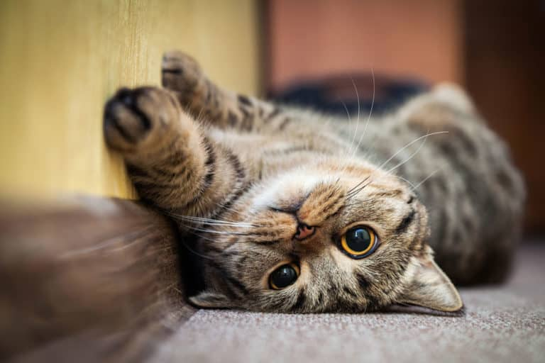 Cluster Seizures in Cats: Causes and How to Treat It)