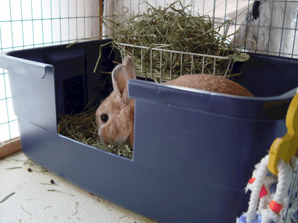 Covered Litter Box for Rabbits: (Cost, Use, Where to Buy)
