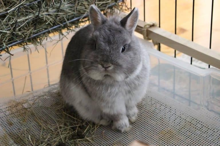 Rabbit Litter Box With Grate: (Cost and Where to Buy It)