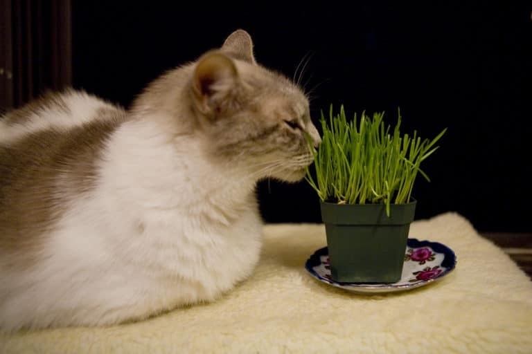 Wheatgrass for Cats With Kidney Disease (Is it Ok)?