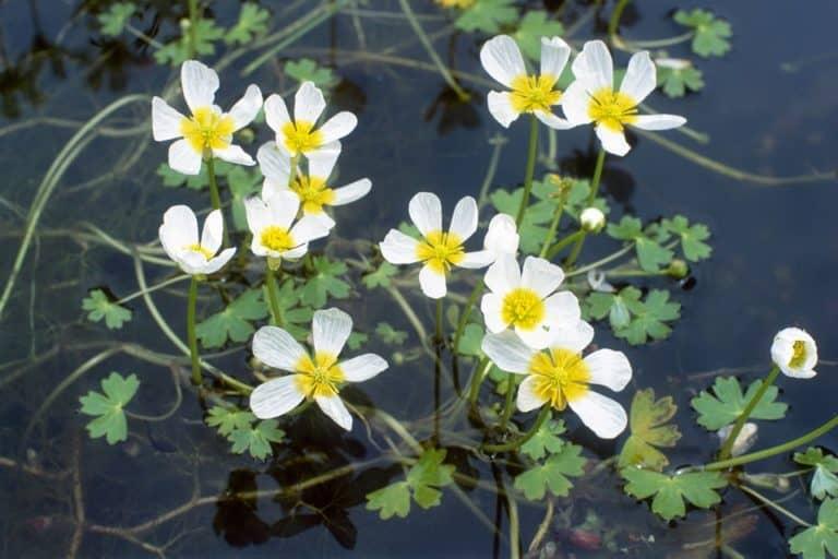Does PetSmart Sell Pond Plants? (Java Fern, Water Wisteria)