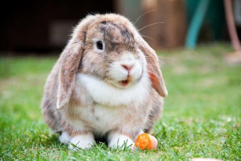 Holland Lop Rabbit (Facts, Diet, Size, Temperament, Care)