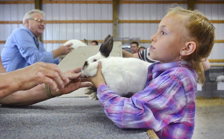 Showing Rabbits in 4H – (A Guide for Rabbit Owners)