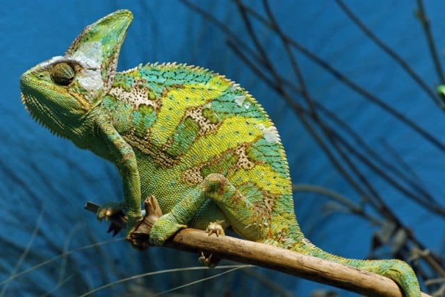 Are Chameleons Good Pets? (Care, Temperament, Cost)