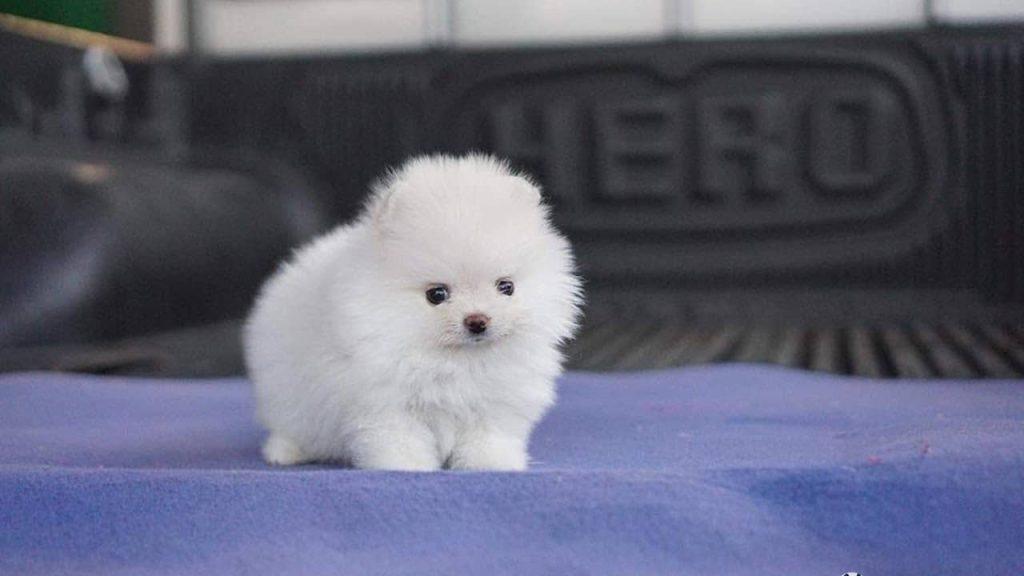 teacup dog