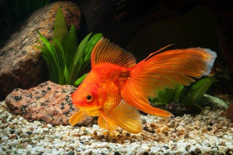 Can Goldfish Live With Guppies? (Example Pictures)