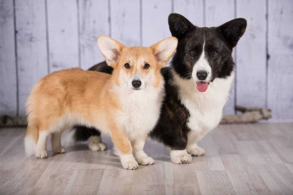 corgi welsh dog