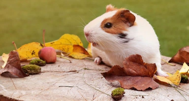 Do Guinea Pigs Need Shots: (What Diseases Can You Prevent)?