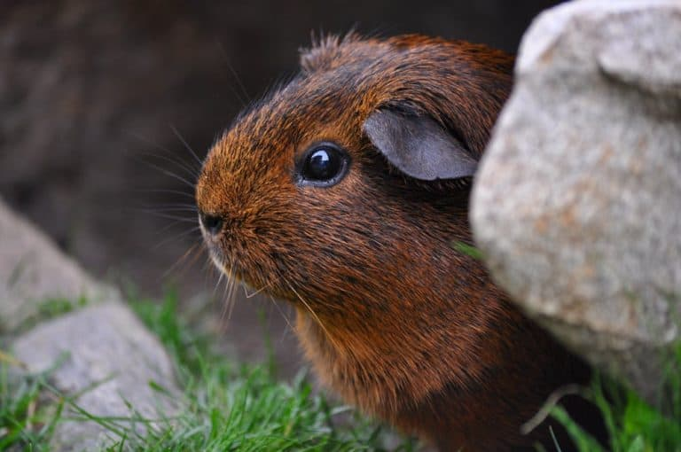 Should Guinea Pigs Be Alone? (Is It Safe? For How Long?)