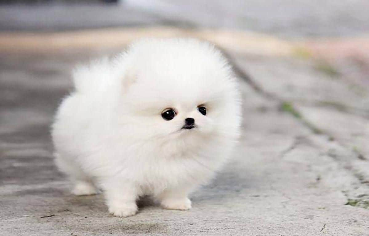 How Much Are Teacup Pomeranians Cost Care Tips