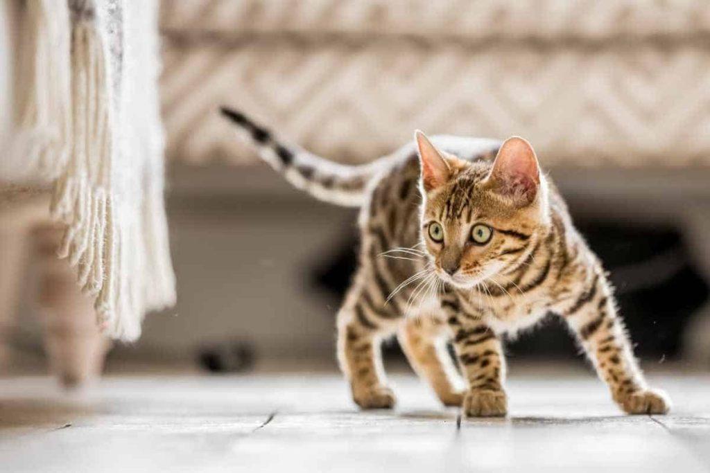 train cat