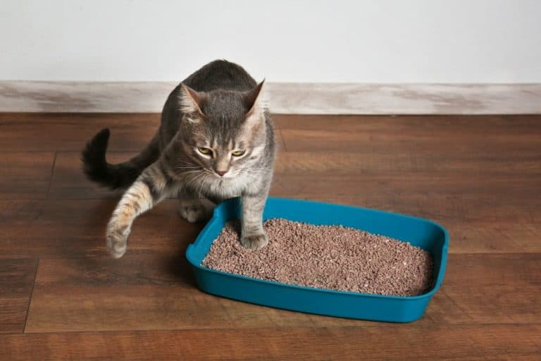 Cat Allergic to Pine Litter (Why is Your Cat Acting Up)?
