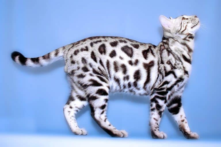 How Much Does a Bengal Cat Cost?