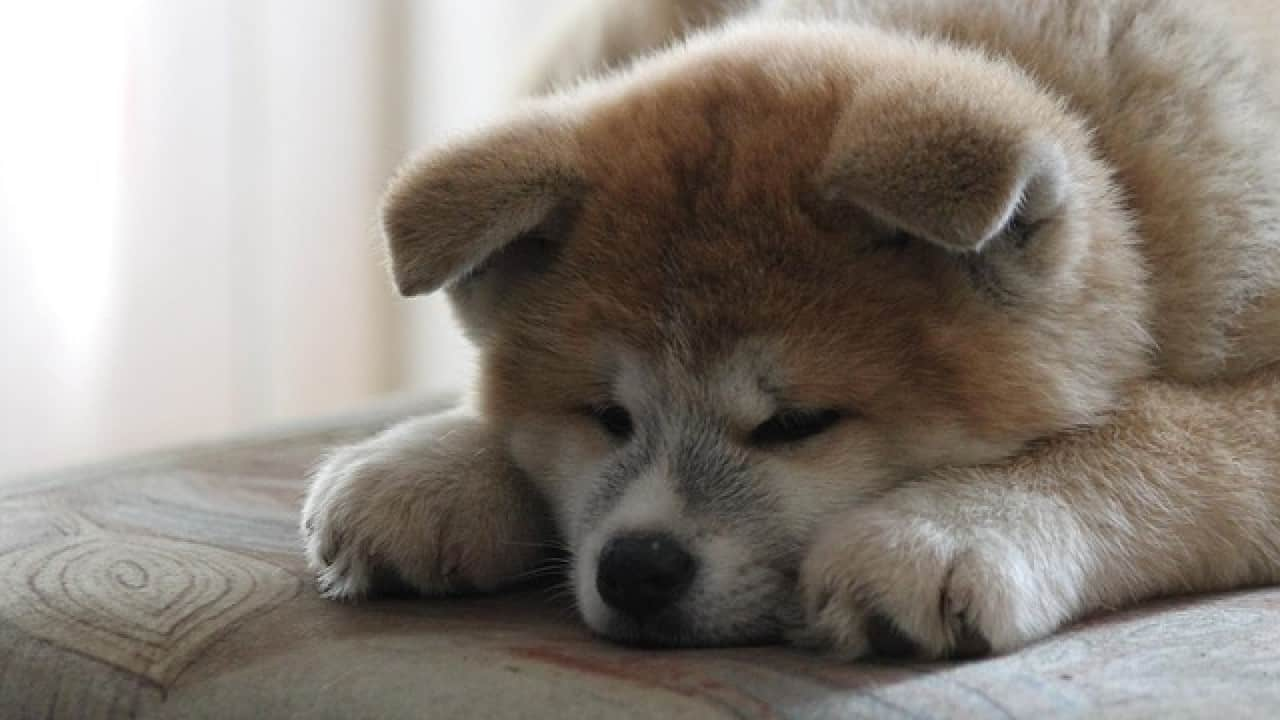 Are Akitas Good Apartment Dogs With Pictures Info