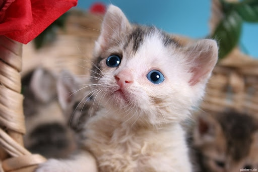 Are All Kittens Born With Blue Eyes Kitten Eye Color Chart?