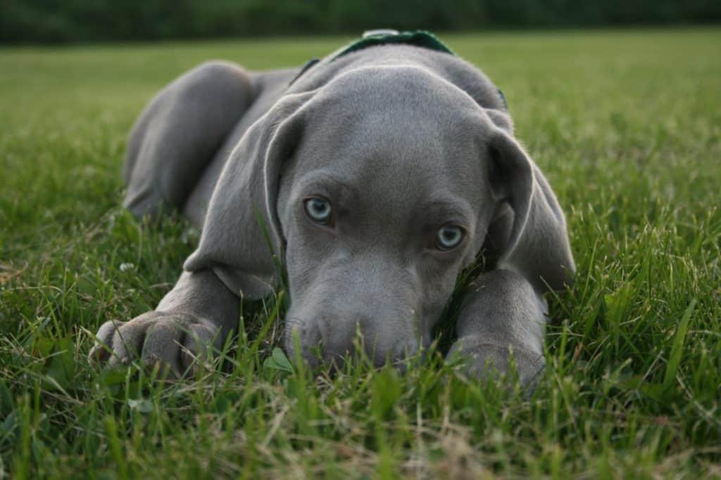 blue-eyed dogs