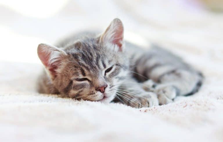 How Long Do Kittens Sleep? (Kitten Sleep Schedule)
