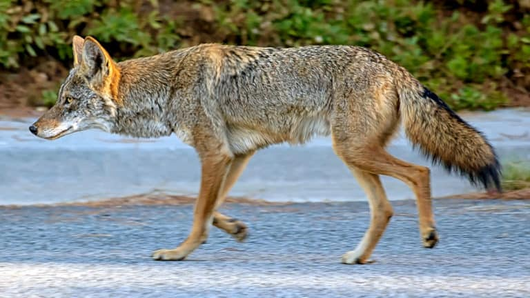 Are Coyotes Dangerous? (Everything You Should Know)