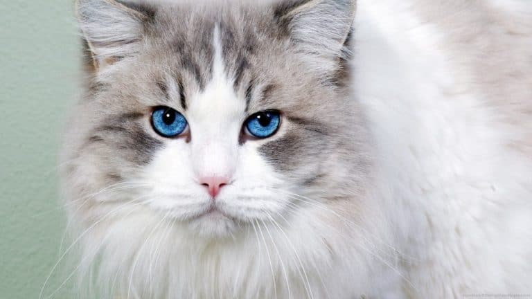 10 Cats With Blue Eyes (Pictures and Examples)