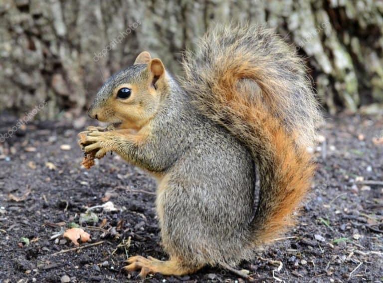 Do Squirrels Eat Peanut? (Squirrels Food List)
