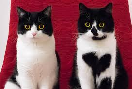 Tuxedo Cat Personality: Everything You Should Know