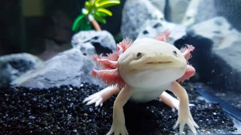 What Do Axolotls Eat? (The Complete Food List)