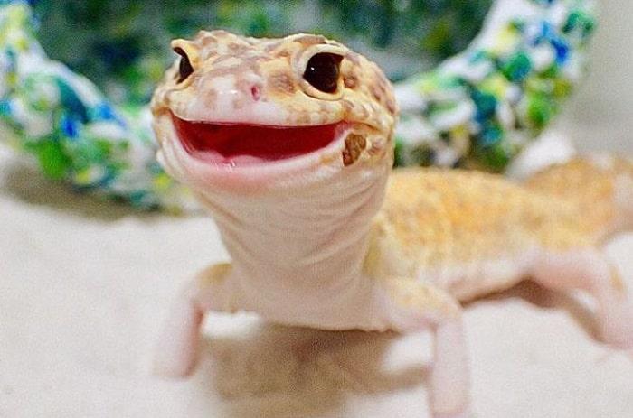 [Image: leopard-gecko-smile1.jpg]