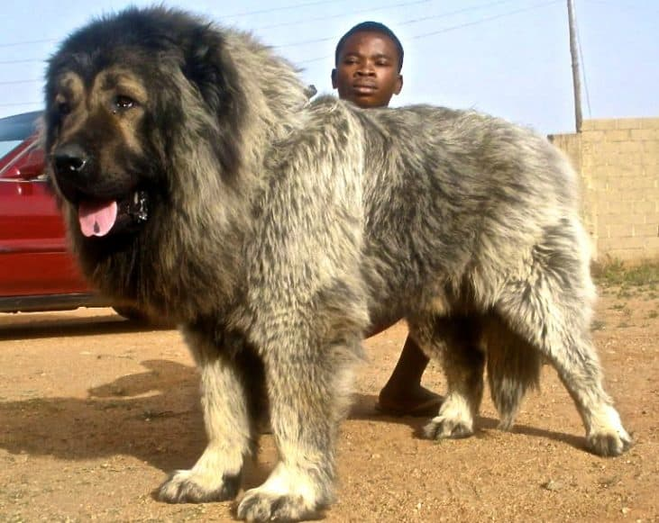 Is The Caucasian Shepherd The Largest Dog?