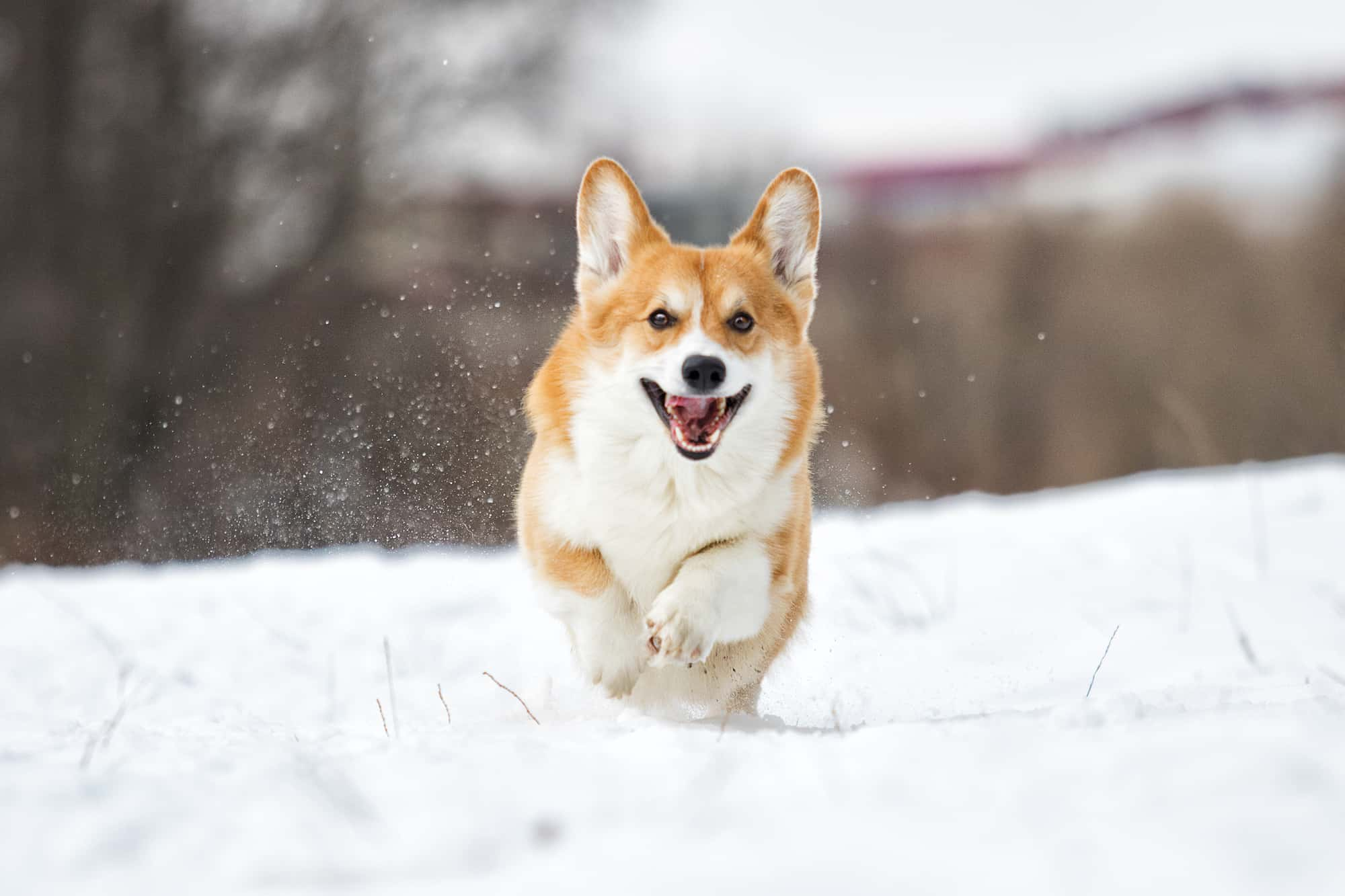 Do Corgis Like Cold? (Best Weather Temperature for Corgis)
