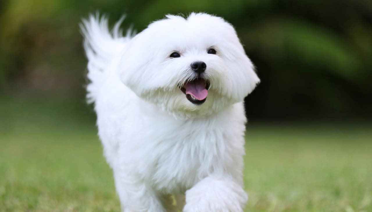 Do Maltese shed? (Facts, Grooming Tips, Temperament)