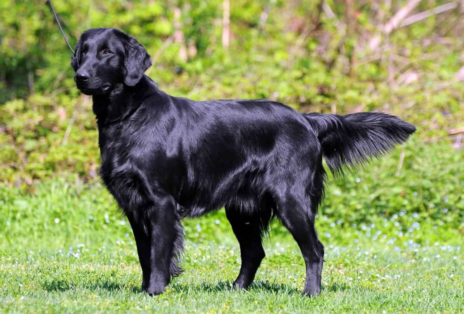 Flat-Coated Retriever Border Collie Mix | Breed Information