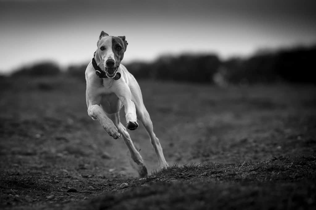 How Fast Can a Whippet Dog Run (How Far in Miles)?