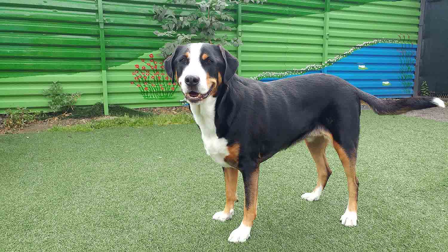 Do Greater Swiss Mountain Dogs Smell?