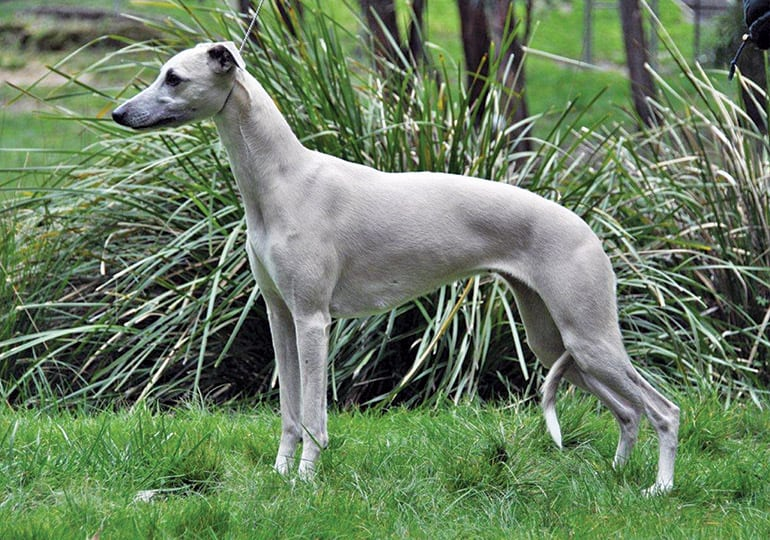 Do Whippets Bark? (Facts, Breed Information)