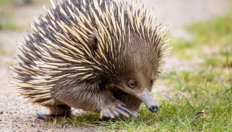 Why Do Echidnas Have 4 Heads (Facts, Information)?