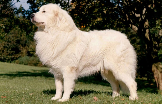 How Big Do Pyrenees Mountain Dogs Get? (Height & Weight)
