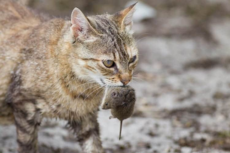 Cats That Eat Mice (Breed, Personality, Facts)