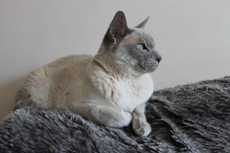Do Tonkinese Cats Shed? (Facts and Breed Info)