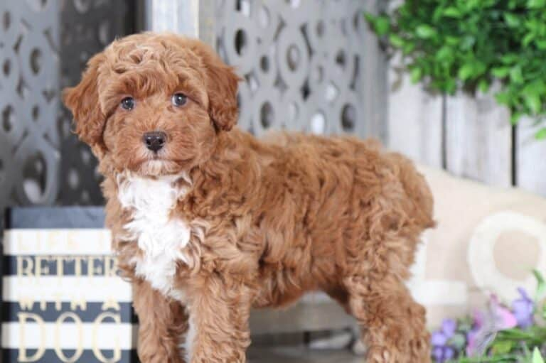 Teacup Aussiedoodle (Facts, Temperaments, Breed Info)