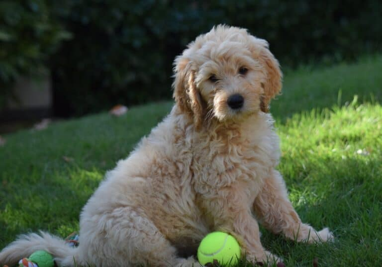 Are Mini Goldendoodles Good Pets? (Facts & Breed Info)
