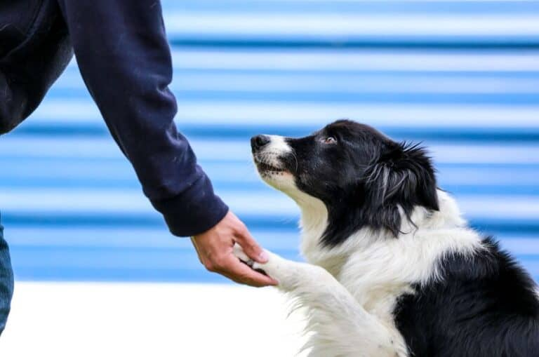Do Border Collies Get Attached To One Person?