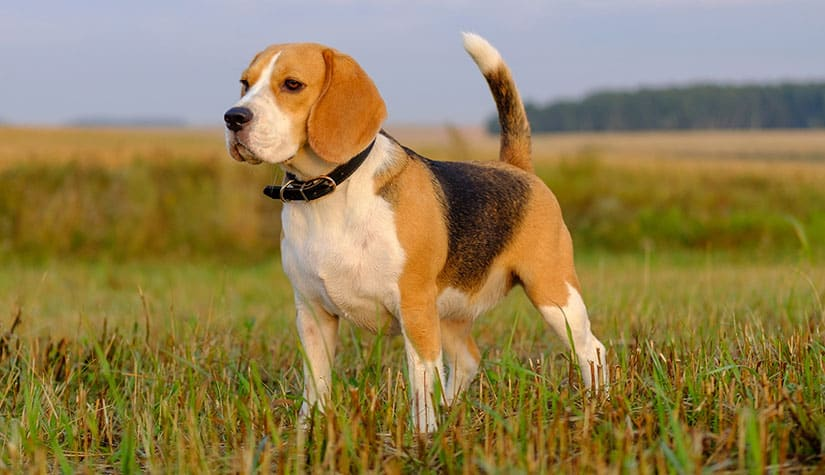 Do Beagles Need A Lot Of Space? (Facts, Care, Breed)
